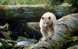 A spirit bear on a log